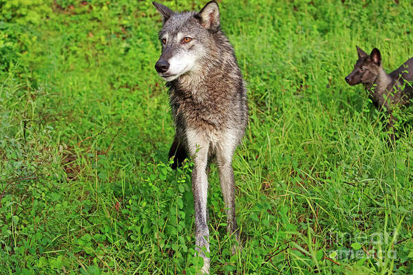 Timber Wolves Photograph - Grey Wolf Female With Pup by Louise Heusinkveld