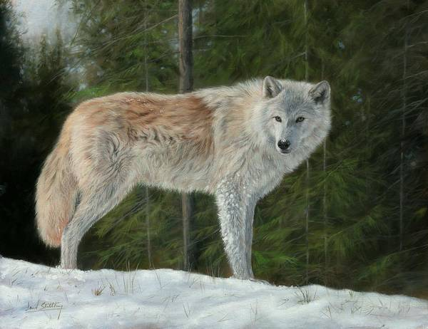 Painting - Grey Wolf In Snow by David Stribbling