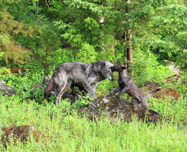 Timber Wolves Photograph - Grey Wolf Mother With Pup by Louise Heusinkveld