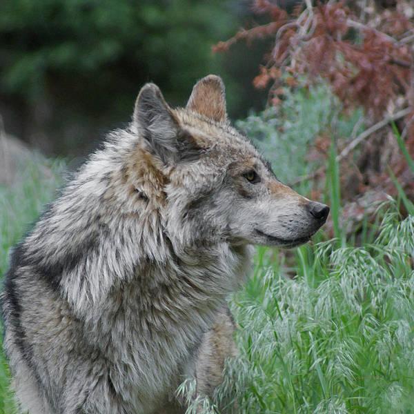 Canine Mixed Media - Grey Wolf Profile 2 by Ernie Echols