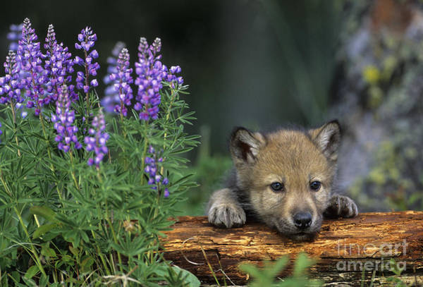 Timber Wolves Photograph - Grey Wolf Pup by Jean-Louis Klein & Marie-Luce Hubert