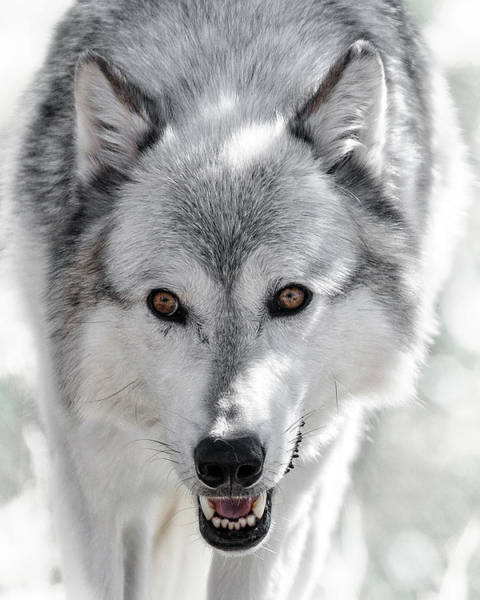 Photograph - Grey Wolf Stalk by Wes and Dotty Weber