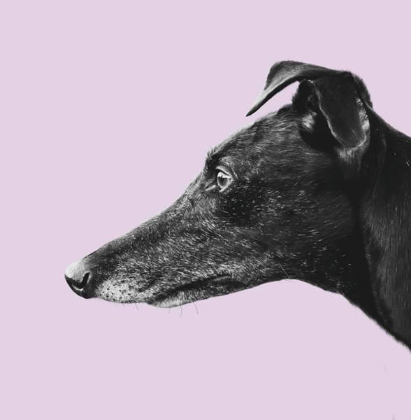 Wall Art - Photograph - Greyhound Profile Design by Mr Doomits