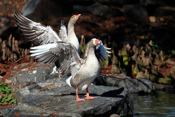 Photograph - Greylag Geese by Nicholas Blackwell