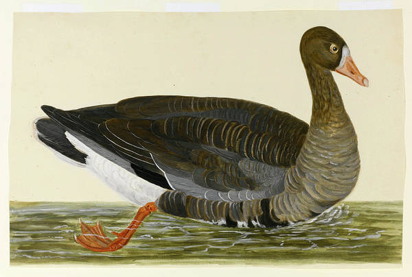 Goose Drawing - Greylag Goose by Charles Collins