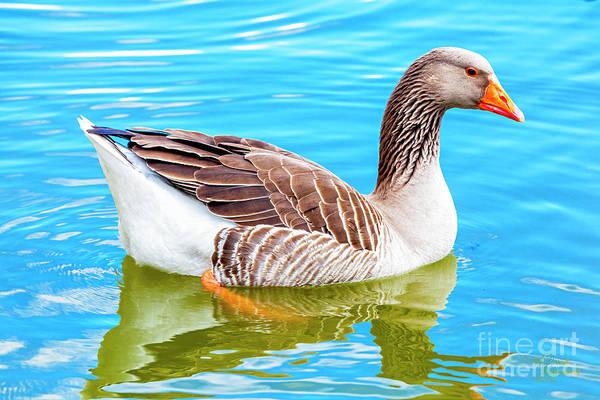 Photograph - Greylag Goose by David Millenheft