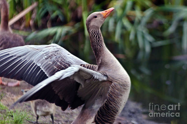 Photograph - Greylag Goose Poetry by Silva Wischeropp