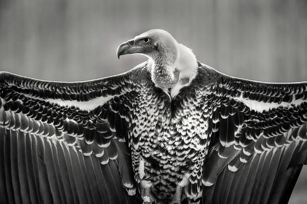 Photograph - Griffon Vulture by Don Johnson