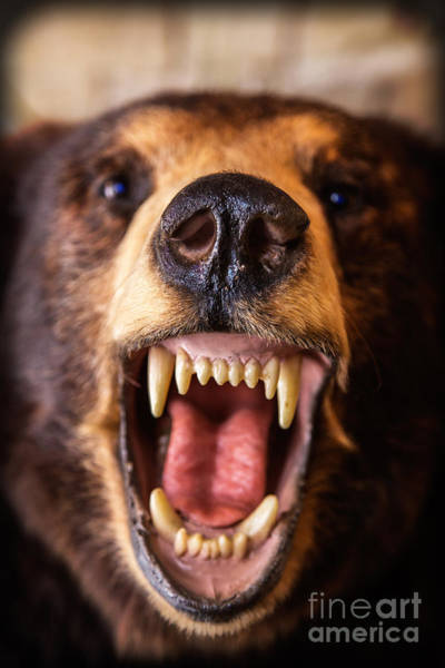 Photograph - Grin And Bear It Alaska Wildlife Up Close by Edward Fielding