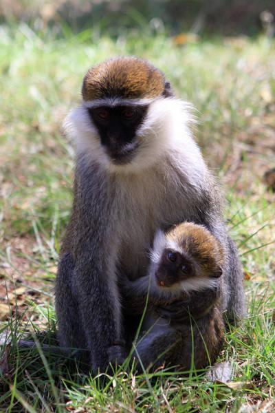 Photograph - Grivet Monkey At Lake Awassa by Aidan Moran