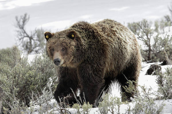 Photograph - Griz 610 by Ronnie and Frances Howard
