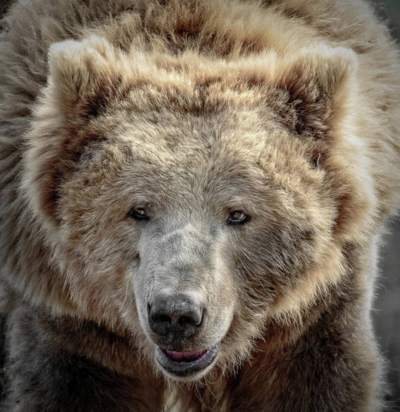 Photograph - Griz Too Close by Wes and Dotty Weber