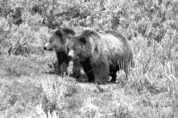Photograph - Grizzlies In The Sage Brush Black And White by Adam Jewell