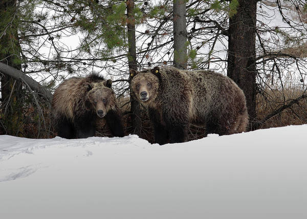 Photograph - Grizzlies by Ronnie and Frances Howard