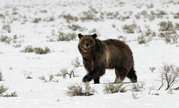Photograph - Grizzly 399 by Ronnie and Frances Howard