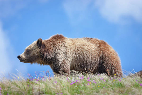 Photograph - Grizzly And Blue Sky by Mark Miller