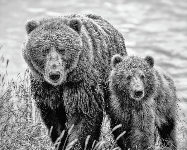 Photograph - Grizzly Bear And Cub by Gigi Ebert