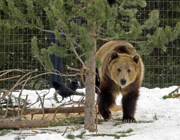 Photograph - Grizzly Bear by Cindy Murphy - NightVisions