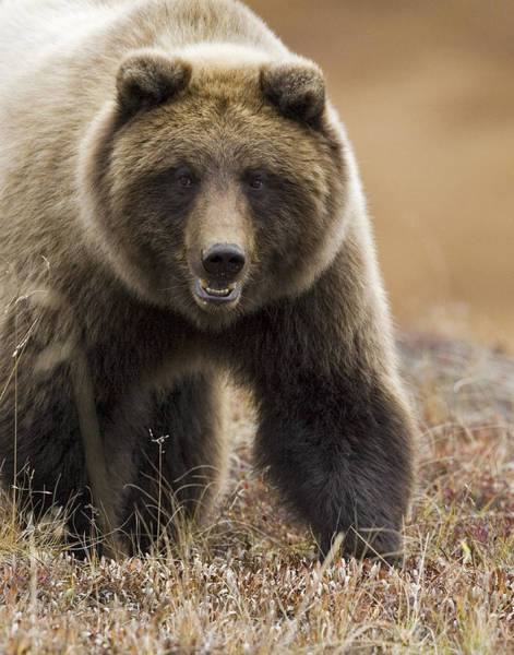 Grizzly Bears Photograph - Grizzly Bear- Eye To Eye by Tim Grams