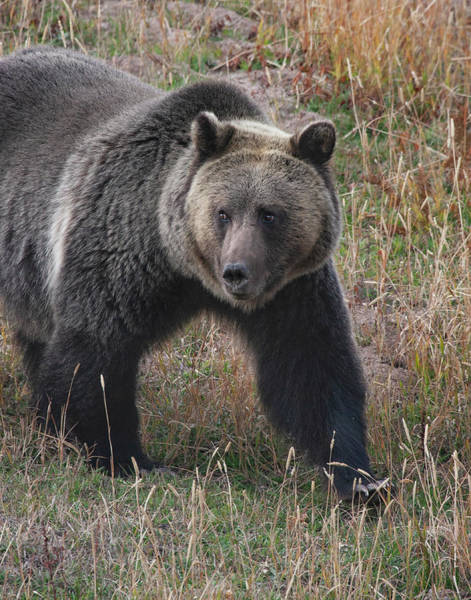 Photograph - Grizzly Bear In Fall by Mark Miller