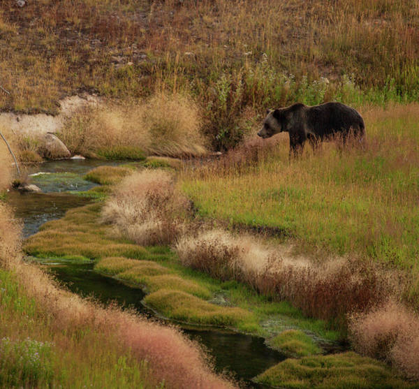 Photograph - Grizzly Bear In Riverbed by Cliff Wassmann
