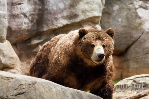 Photograph - Grizzly Bear by Jill Lang