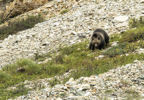Photograph - Grizzly Bear Nearing The Bottom Of The Mountain No. 1 by Belinda Greb