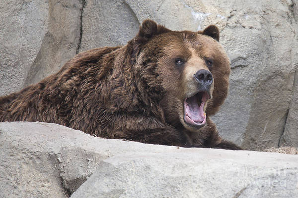Grizzly Bear Photograph - Grizzly Bear by Twenty Two North Photography