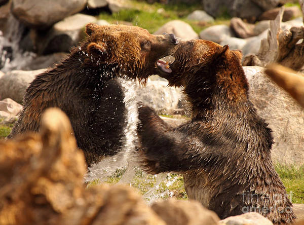 Wall Art - Photograph - Grizzly Bears In A Battle Of Tooth And Claw by Max Allen