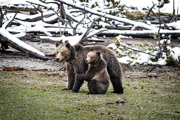 Art Print featuring the photograph Grizzly Cub Holding Mother by Scott Read
