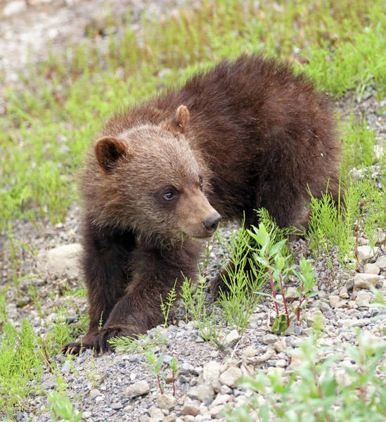 Photograph - Grizzly Cub II by Jean Clark