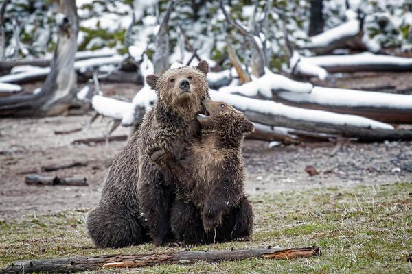 Photograph - Grizzly Cub Playing With Mother by Scott Read