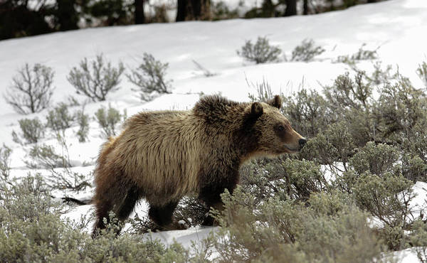 Photograph - Grizzly Cub by Ronnie and Frances Howard