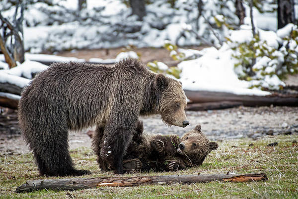 Photograph - Grizzly Cub With Mother by Scott Read