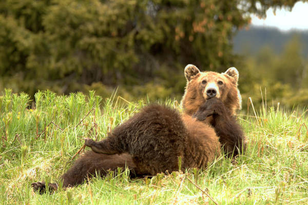 Photograph - Grizzly Deep In Thought by Adam Jewell