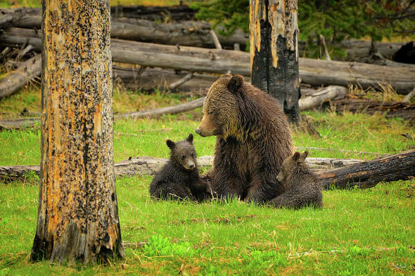 Photograph - Grizzly Family Gathering by Greg Norrell