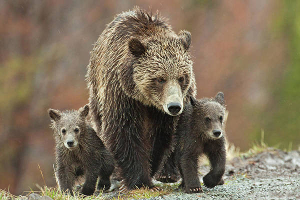 Photograph - Grizzly Family by Wesley Aston