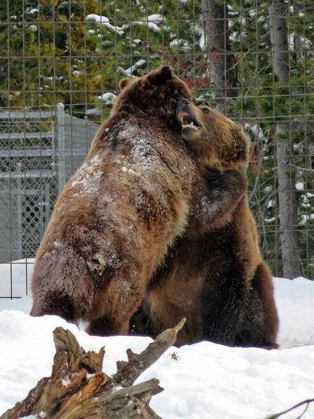 Photograph - Grizzly Fun by Cindy Murphy - NightVisions