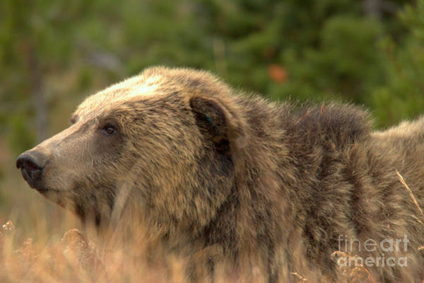 Photograph - Grizzly Hidden In The Brush by Adam Jewell