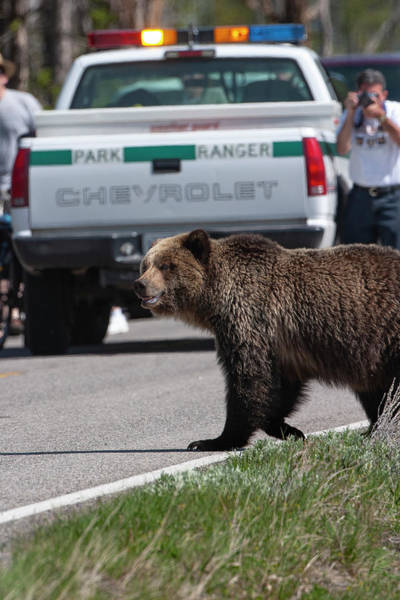 Photograph - Grizzly In Yellowstone by Mark Miller