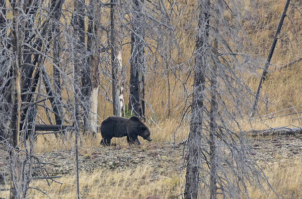 Photograph - Grizzly by Loree Johnson