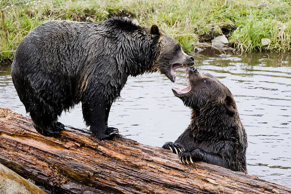 Photograph - Grizzly Love by Windy Corduroy