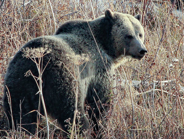 Photograph - Grizzly Peeker by Frank Vargo