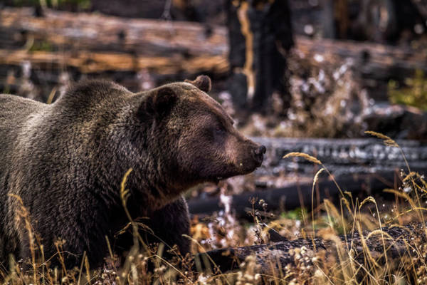 Wall Art - Photograph - Grizzly Portrait by Paul Freidlund