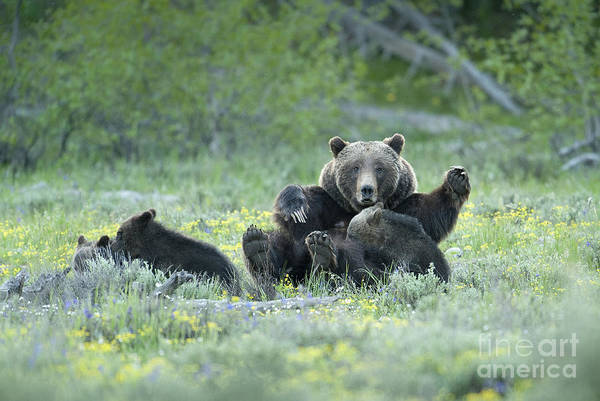 Sow Photograph - Grizzly Romp - Grand Teton by Sandra Bronstein