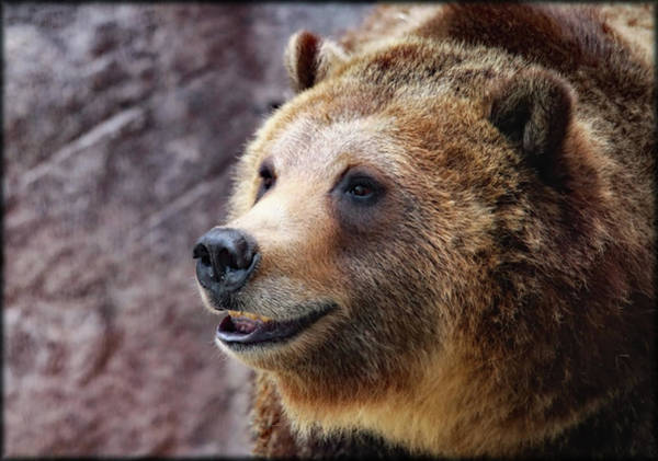 Grizzly Smile Art Print