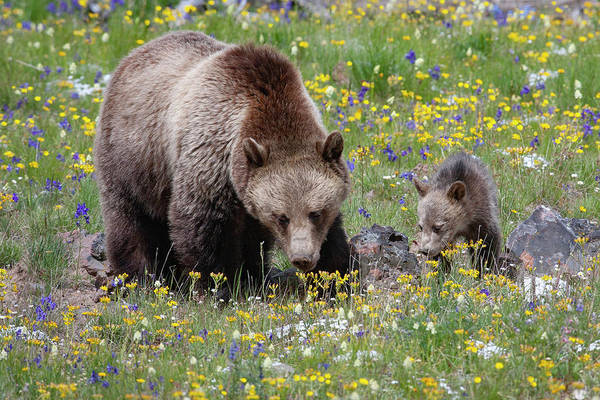 Photograph - Grizzly Sow And Cub In Summer Flowers by Mark Miller