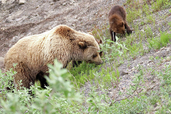 Photograph - Grizzly Sow And Cubs by Jean Clark