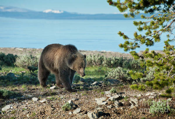 Sow Photograph - Grizzly Sow At Yellowstone Lake by Sandra Bronstein