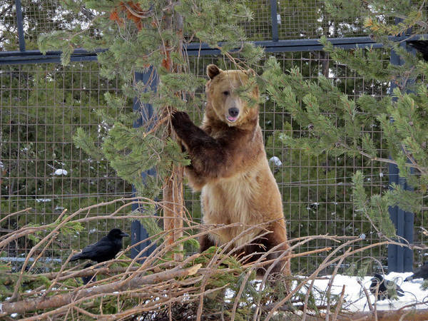 Photograph - Grizzly Standing by Cindy Murphy - NightVisions